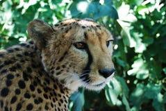 Guépard en Namibie Photographie stock libre de droits