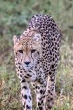 Guépard en parc national de Kruger Image libre de droits