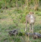 Guépard en parc national de Kruger Images libres de droits
