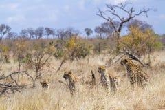 Guépard en parc national de Kruger, Afrique du Sud images stock
