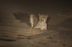 Guépard, jubatus d'Acinonyx, à la nuit s'asseyant mais à l'alerte photos libres de droits