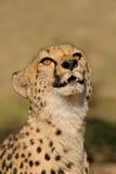 Guépard (jubatus d'Acinonyx) Photo stock