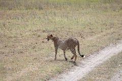 Guépard marchant loin Image libre de droits