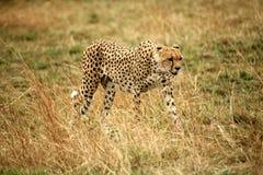 Guépard marchant par l'herbe Image stock
