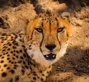 Guépard paresseux Photo libre de droits