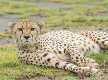 Guépard se reposant sur l'herbe image libre de droits