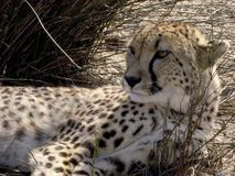 Guépard sud-africain dans le sauvage Image libre de droits