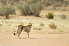 Guépard tenu dans le désert Photographie stock libre de droits