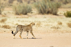 Guépard tenu dans le désert Images libres de droits