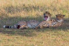 Guépards comiques, masais Mara, Kenya Photos stock