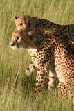 Guépards dans la lumière d'or d'après-midi, Okavango Photographie stock libre de droits