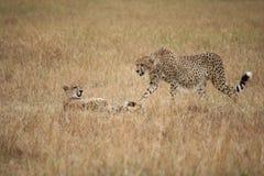 Guépards dans le masai Mara Images libres de droits