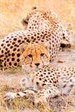 Guépards dans le masai Mara Photographie stock