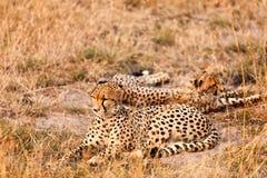 Guépards dans le masai Mara Photographie stock libre de droits