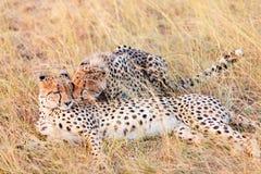 Guépards dans le masai Mara Image stock