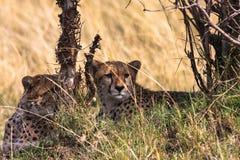 Guépards effrayés Serengeti Masai Mara, Kenya Photographie stock