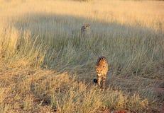 Guépards, Namibie Images libres de droits