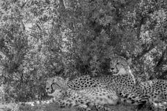 Guépards s'étendant dans l'herbe sous un buisson photos libres de droits