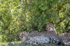 Guépards s'étendant dans l'herbe sous un buisson photographie stock libre de droits