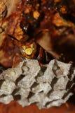 Guêpe à la ruche Image stock