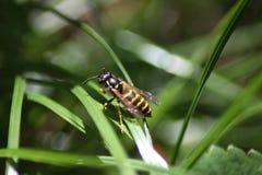 Guêpe énergique se reposant sur une lame d'herbe Image libre de droits