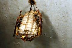 guêpe amazonienne d'emboîtement Images libres de droits