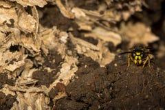 Guêpe commune (Vespula vulgaris) sur la garde par le nid souterrain perturbé Photographie stock