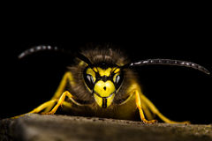 Guêpe commune (Vespula vulgaris) sur un fond noir Photographie stock libre de droits