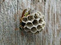 Guêpe d'insecte sur la porte photographie stock libre de droits