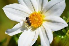 Guêpe d'insectes Photo libre de droits