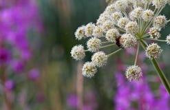 Guêpe dans l'angélique officinale sauvage de floraison photos stock