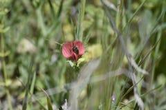 Guêpe dans le pollen de pollination d'orchidée rouge photo libre de droits