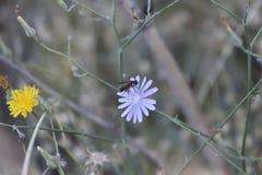 Guêpe noire recherchant le pollen sur une fleur pourpre photos stock