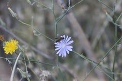 Guêpe noire recherchant le pollen sur une fleur pourpre photographie stock libre de droits