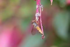 Guêpe obtenant le pollen Images stock