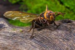 Guêpe orange, insecte Photo libre de droits