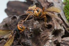 Guêpe orange, insecte Photo stock