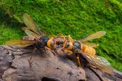 Guêpe orange, insecte Photos libres de droits