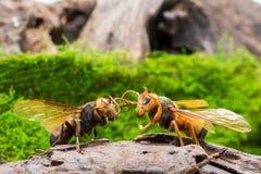 Guêpe orange, insecte Photographie stock libre de droits