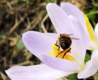 Guêpe se reposant sur un rocus de  de Ñ au printemps photo libre de droits