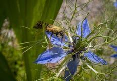 Guêpe sur la fleur d'un damascena de Nigella Image libre de droits