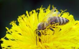 Guêpe sur la fleur jaune Image libre de droits