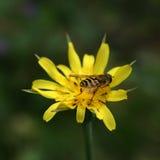Guêpe sur la fleur jaune Photo libre de droits