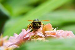 Guêpe sur une fleur Photo libre de droits