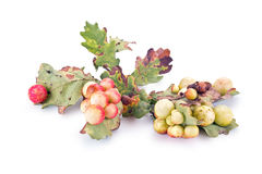 Guêpes d'écorchure d'insecte de Galla Images stock