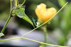 Guêpes d'Emerald Green étées perché sur des feuilles Image libre de droits