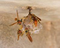 Guêpes de Jack Spaniard sur un petit nid Photographie stock libre de droits