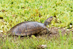 Guêpes de rivière de tortue photos libres de droits