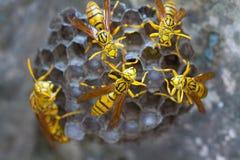 Guêpes de tigre sur leur ruche ou nid photographie stock libre de droits