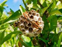 Guêpes européennes alimentant des larves dans le nid multi de cellules image stock